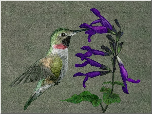 Hummingbird and Salvia